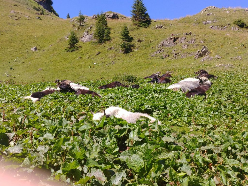 lac de lioson vaches